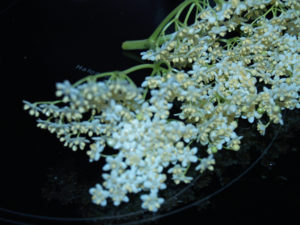 Holunderblüte im Originalzustand