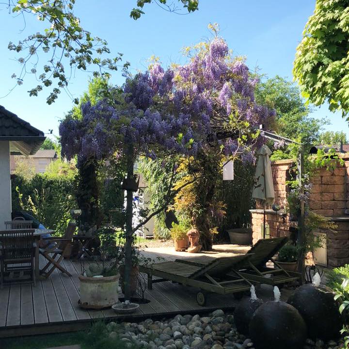 Unser Blauregen in voller Blüte im letzten Jahr....